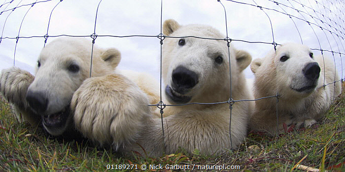 Polar Bear Cubs (7-8 months) (Ursus maritimus) investigating photographer through wire fence. Lodge on the shores of Hudson Bay, Canada (Sept).  ,  BABIES,BEARS,CAGE,CANADA,CAPTIVE,CARNIVORES,ENDANGERED,MAMMALS,VERTEBRATES,North America  ,  Nick Garbutt