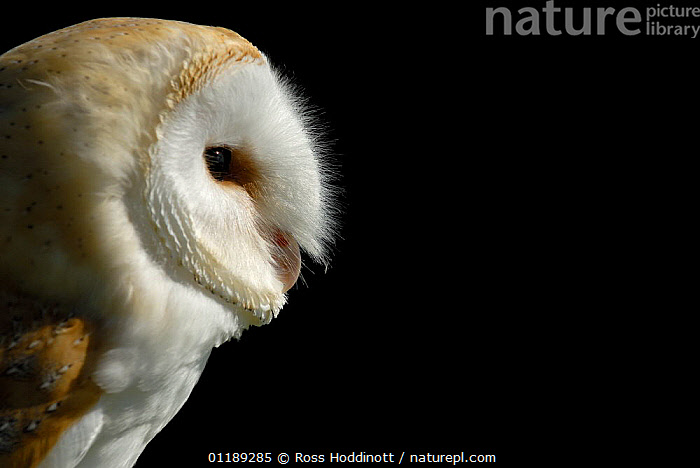 Barn owl {Tyto alba} (captive), Cornwall, UK  ,  BIRDS,BIRDS OF PREY,OWLS,PORTRAITS,UK,VERTEBRATES,VERTICAL,Europe,United Kingdom,British,Raptor  ,  Ross Hoddinott