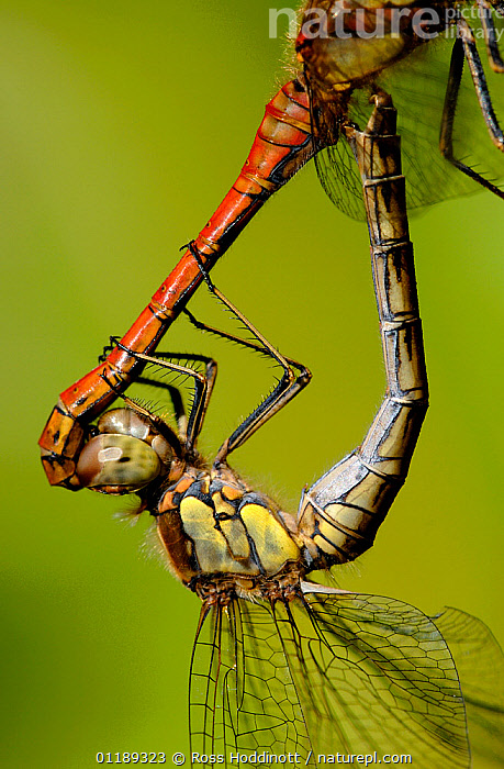 Close up of Common darter dragonfly {Sympetrum striolatum}, mating pair, Cornwall, UK  ,  ARTHROPODS,CLOSE UPS,DRAGONFLIES,EUROPE,INSECTS,INVERTEBRATES,MALE FEMALE PAIR,MATING BEHAVIOUR,ODONATA,UK,VERTICAL,United Kingdom,Reproduction,British  ,  Ross Hoddinott