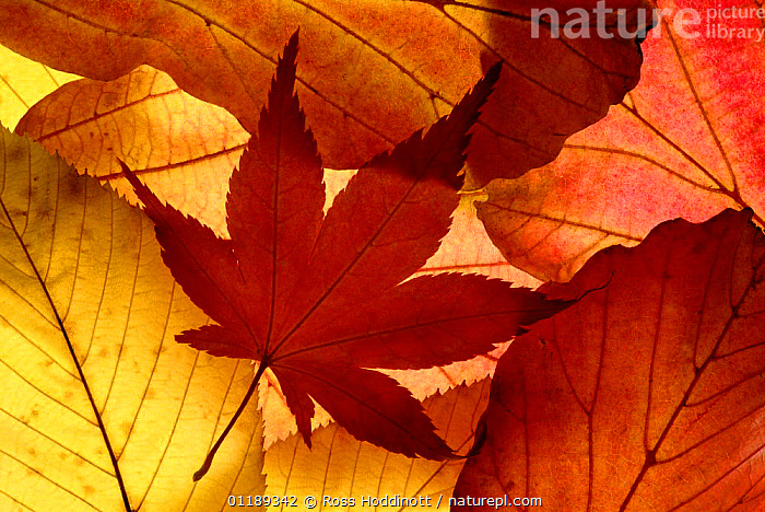 Colourful autumnal leaves backlit. Cornwall, UK.  ,  ABSTRACTS,ARTY,AUTUMN,LEAVES,PATTERNS  ,  Ross Hoddinott