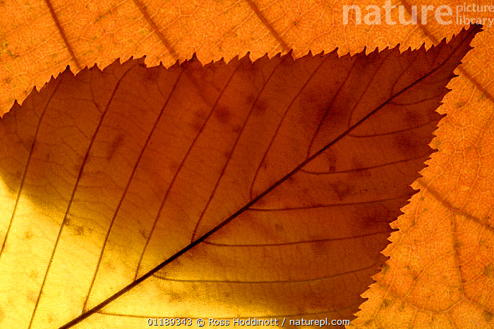 Colourful autumnal leaves backlit. Cornwall, UK.  ,  ARTY,AUTUMN,LEAVES,PATTERNS,ABSTRACT  ,  Ross Hoddinott