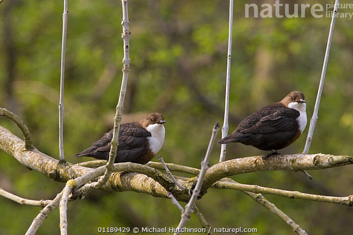 Dipper (Cinclus cinclus), male and female perched in tree, Derbyshire, UK  ,  BIRDS,DIPPERS,EUROPE,MALE FEMALE PAIR,TWO,UK,VERTEBRATES,WATER,United Kingdom,British  ,  Michael Hutchinson