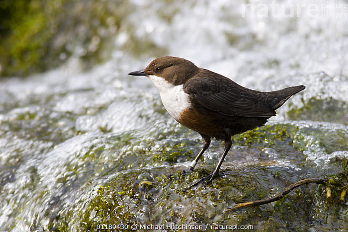 Dipper (Cinclus cinclus) by waterfall, Derbyshire, UK  ,  BIRDS,DIPPERS,EUROPE,RIVERS,STREAMS,UK,VERTEBRATES,WATER,United Kingdom,British  ,  Michael Hutchinson