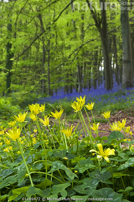 Lesser Celandine (Ranunculus ficaria) in deciduous woodland clearing with bluebells and stand of beech trees in background, North Somerset, UK  ,  BUTTERCUP,DICOTYLEDONS,EUROPE,FLOWERS,PLANTS,RANUNCULACEAE,SPRING,UK,VERTICAL,WILDFLOWERS,WOODLANDS,United Kingdom,British  ,  Michael Hutchinson