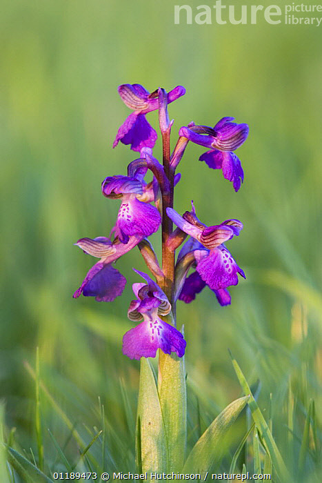 Green-winged orchid (Anacamptis morio) in flower amongst meadow grass, North Somerset, UK  ,  EUROPE, FLOWERS, MONOCOTYLEDONS, ORCHIDACEAE, PLANTS, UK, VERTICAL,United Kingdom  ,  Michael Hutchinson