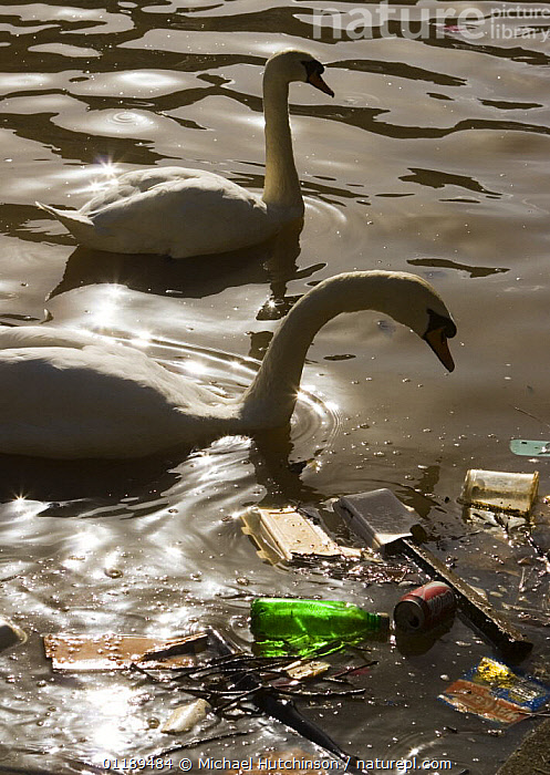Mute swans (Cygnus olor) backlit next to floating litter in river Avon, Bristol, UK  ,  BIRDS,BOTTLES,CANS,CITIES,ENVIRONMENTAL,EUROPE,LITTER,POLLUTION,REFUSE,RIVERS,RUBBISH,SWANS,TWO,UK,URBAN,VERTEBRATES,VERTICAL,WATER,WATERFOWL,United Kingdom,British,Wildfowl, Waterfowl, United Kingdom, United Kingdom, United Kingdom, United Kingdom, United Kingdom,Catalogue1  ,  Michael Hutchinson