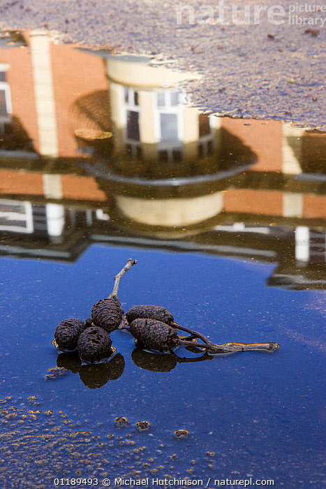 Italian Alder (Alnus cordata) cones in puddle of water on tarmac building reflection, Bristol, UK  ,  ABSTRACTS,BUILDINGS,CITIES,EUROPE,PLANTS,REFLECTIONS,UK,URBAN,United Kingdom,British  ,  Michael Hutchinson