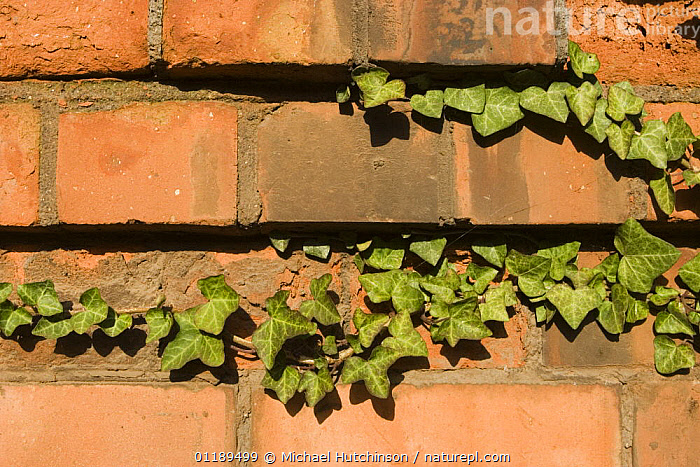 Ivy (Hedera helix) growing along brick wall, Bristol, UK  ,  ARALIACEAE,BRICKS,BUILDINGS,CLIMBERS,DICOTYLEDONS,EUROPE,PLANTS,UK,United Kingdom,British  ,  Michael Hutchinson