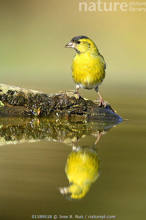 Siskin (Carduelis spinus) male at water, Alicante, Spain  ,  BIRDS,FINCHES,MALES,REFLECTIONS,SPAIN,VERTEBRATES,VERTICAL,Europe  ,  Jose B. Ruiz