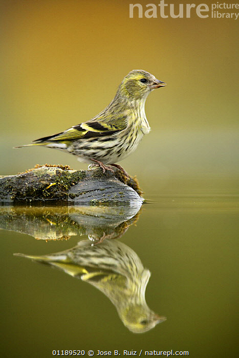 Siskin (Carduelis spinus) female at water, Alicante, Spain  ,  BIRDS,FEMALES,FINCHES,PORTRAITS,PROFILE,REFLECTIONS,SPAIN,VERTEBRATES,VERTICAL,Europe  ,  Jose B. Ruiz