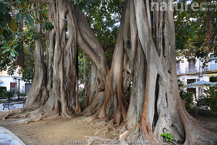 Buttress roots of Rubber fig tree (Ficus elastica) in city square, Plaza de Gabriel Mir�, Alicante, Spain  ,  CITIES,DICOTYLEDONS,EUROPE,MORACEAE,PLANTS,ROOTS,SPAIN,TREES,URBAN  ,  Jose B. Ruiz