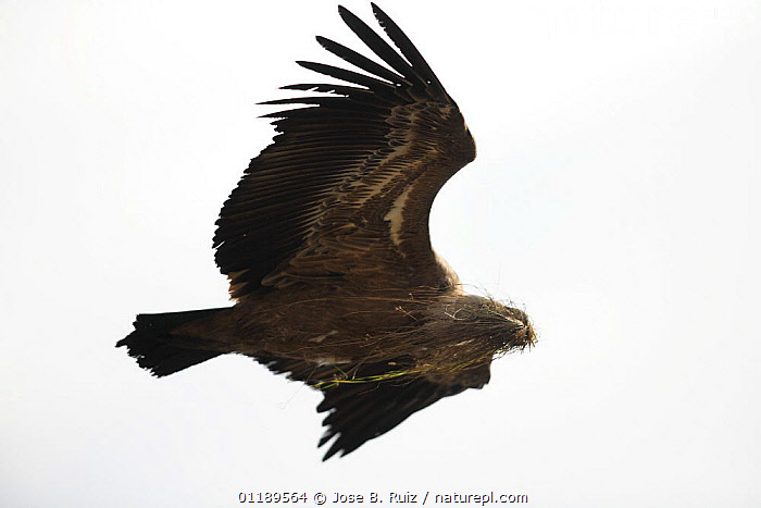 Griffon vulture (Gyps fulvus) flying carrying nesting material, Hoces del Durat�n, Segovia, Spain  ,  BIRDS,BIRDS OF PREY,EUROPE,FLYING,NESTS,SILHOUETTES,SOARING,SPAIN,VERTEBRATES,VULTURES  ,  Jose B. Ruiz