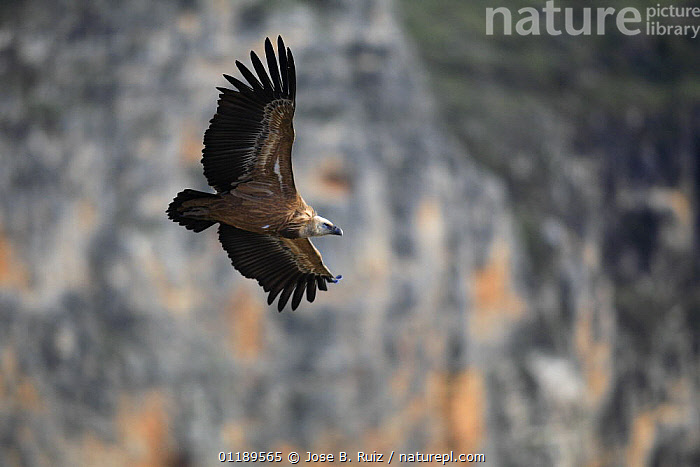 Griffon vulture (Gyps fulvus) flying, Hoces del Durat�n, Segovia, Spain  ,  BIRDS,BIRDS OF PREY,EUROPE,FLYING,SOARING,SPAIN,VERTEBRATES,VULTURES  ,  Jose B. Ruiz