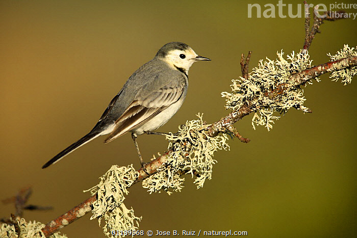 White wagtail {Motacilla alba alba}  on branch with lichen, Alicante, Spain  ,  BIRDS,EUROPE,SPAIN,VERTEBRATES,WAGTAILS  ,  Jose B. Ruiz
