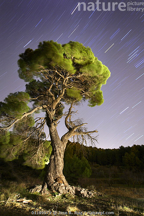 Aleppo pine tree {Pinus halepensis} photographed with long exposure at night with star trails behind, Torremanzana, Alicante, Spain  ,  CONIFEROUS,EUROPE,NIGHT,PINACEAE,PORTRAITS,SPAIN,STARS,TREES,VERTICAL,Plants  ,  Jose B. Ruiz