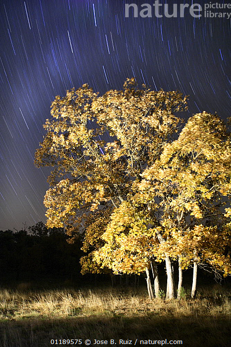 Oak tree {Quercus sp} in autumn, photographed with long exposure at night with star trails behind, Cacares, Spain  ,  DICOTYLEDONS,FAGACEAE,NIGHT,PLANTS,STARS,TREES,VERTICAL  ,  Jose B. Ruiz