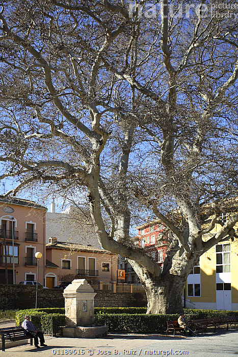 Oriental plane tree (Platanus orientalis) in town square, Biar, Alicante, Spain  ,  BUILDINGS,CITIES,EUROPE,LANDSCAPES,PLANTS,PLATANACEAE,SPAIN,TOWNS,TREES,URBAN,VERTICAL  ,  Jose B. Ruiz