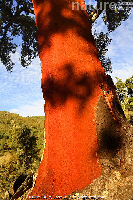 Close up of red trunk of Cork Oak tree (Quercus suber) which has been stripped of bark, Las Hurdes, Caceres, Spain  ,  BARK,CLOSE UPS,COLOURFUL,EUROPE,FAGACEAE,PLANTS,SPAIN,TREES,TRUNKS,VERTICAL  ,  Jose B. Ruiz