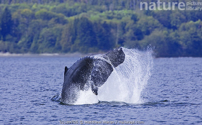 Humpback whale (Megaptera novaeangliae) lob-tailing in Barkley Sound, Vancouver Island, Canada  ,  BEHAVIOUR,BREACHING,BRITISH COLUMBIA,CANADA,CETACEANS,COASTAL WATERS,FLUKES,MAMMALS,MARINE,PACIFIC,SPLASHING,SURFACE,TAILS,VERTEBRATES,WHALES,North America  ,  Matthew Maran