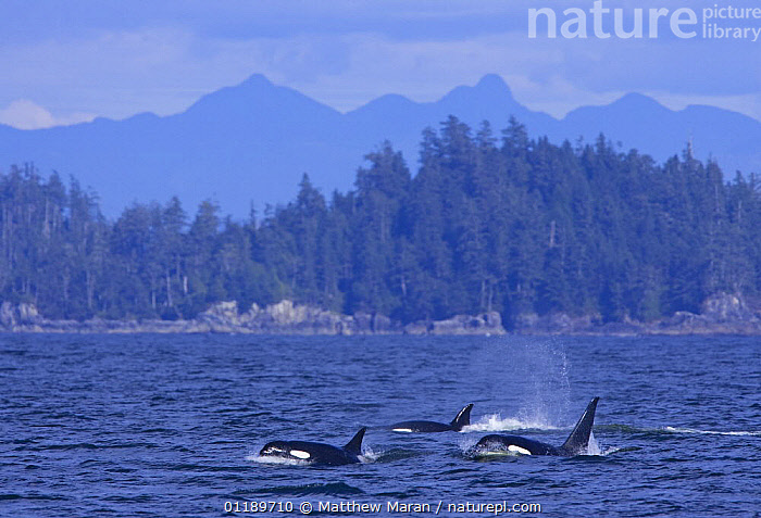 Transient Killer whales (Orcinus orca) in Barkley Sound, Vancouver Island, Canada  ,  BRITISH COLUMBIA,CANADA,CETACEANS,COASTAL WATERS,COASTS,DOLPHINS,FORESTS,GROUPS,LANDSCAPES,MAMMALS,MARINE,MOUNTAINS,PACIFIC,SURFACE,VERTEBRATES,North America  ,  Matthew Maran