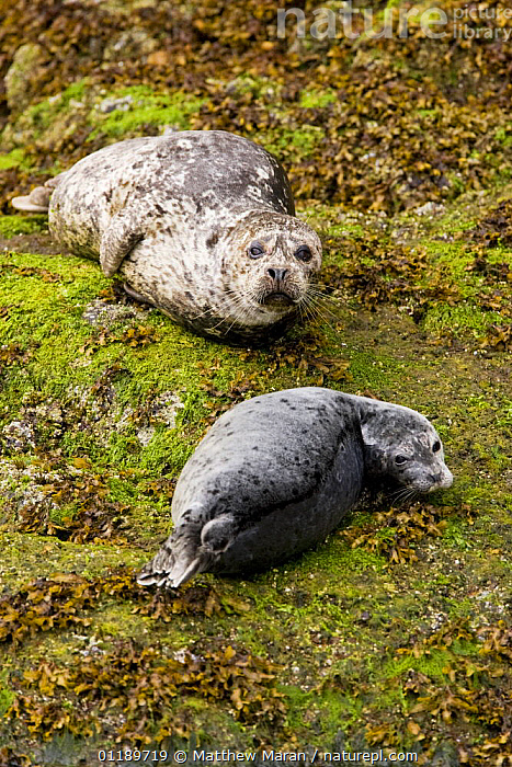 Common seals (Phoca vitulina) on rocks. Clayoquot Sound, Vancouver Island, Canada  ,  BRITISH COLUMBIA,CANADA,CARNIVORES,COASTS,HARBOR SEAL,HARBOUR SEAL,JUVENILE,MAMMALS,PACIFIC,PINNIPEDS,PORTRAITS,ROCKS,SEALS,SEAWEED,TWO,VERTEBRATES,VERTICAL,North America,Plants  ,  Matthew Maran