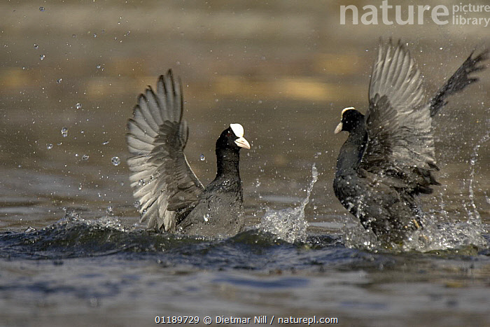Two coots (Fulica atra) fighting in water, Stuttgart,  Germany, Spring  ,  BEHAVIOUR,BIRDS,COOTS,EUROPE,FIGHTING,GERMANY,LAKES,VERTEBRATES,WATER,WATERFOWL,Aggression,Concepts  ,  Dietmar Nill