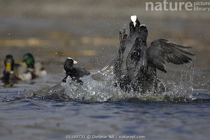 Two coots (Fulica atra) fighting in water, with another watching. Stuttgart, Germany, Spring  ,  BEHAVIOUR,BIRDS,COOTS,EUROPE,FIGHTING,GERMANY,GROUPS,VERTEBRATES,WATER,WATERFOWL,Aggression,Concepts  ,  Dietmar Nill