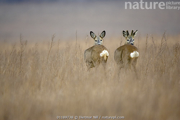 Pair of Roe Deer (Capreolus capreolus) looking over their shoulders in long grass. Germany  ,  ARTIODACTYLA,BEHAVIOUR,CERVIDS,DEER,EUROPE,FRIENDSHIP,GERMANY,GRASSLAND,INTERESTING,MAMMALS,PORTRAITS,TWO,VERTEBRATES,Concepts  ,  Dietmar Nill