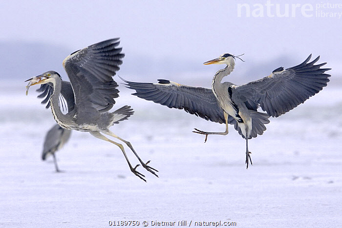 Two Grey Herons (Ardea cinerea) on ice, one flying off with fish, Germany  ,  BEHAVIOUR,BIRDS,DISPLAY,EUROPE,FEEDING,FLYING,GERMANY,HERONS,TAKE OFF,VERTEBRATES,WINTER,Communication,two  ,  Dietmar Nill