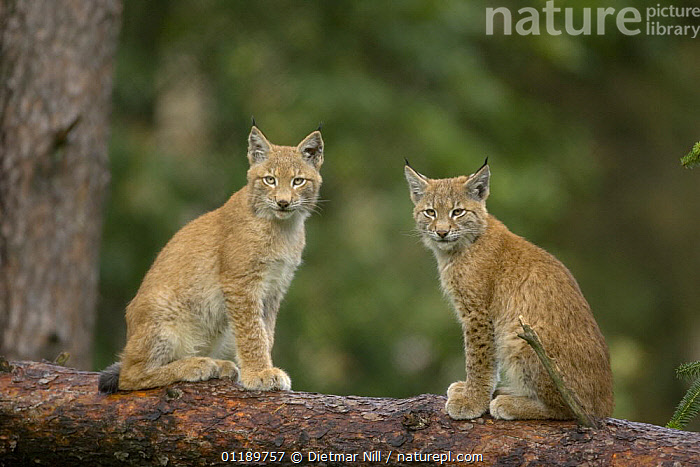 Two Lynx (Lynx lynx) juveniles on a tree branch, Germany, captive  ,  CARNIVORES,CATS,FORESTS,FRIENDSHIP,JUVENILE,MAMMALS,PORTRAITS,VERTEBRATES,WOODLANDS,Europe,Concepts  ,  Dietmar Nill