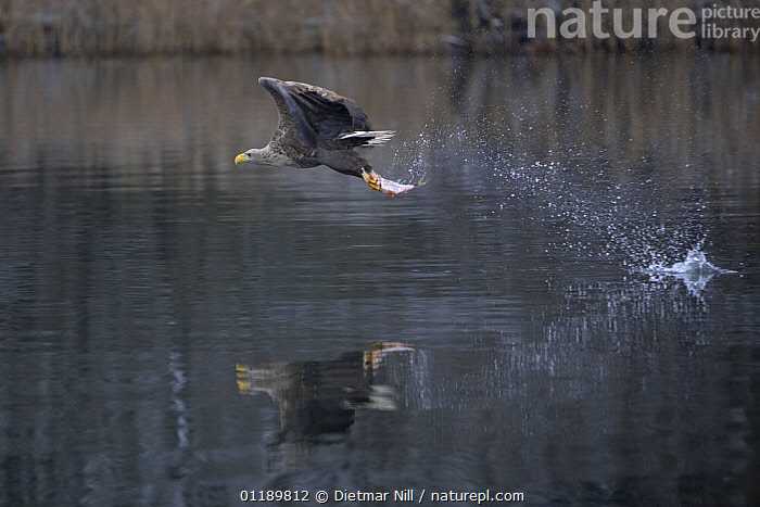 White-tailed sea eagle (Haliaeetus albicilla) adult flying low after catching a fish, Feldberger Seenlandschaft, Germany  ,  BIRDS,BIRDS OF PREY,EAGLES,EUROPE,FISH,FLYING,GERMANY,HUNTING,LAKES,PREDATION,PREDATOR PREY,REFLECTIONS,VERTEBRATES,Behaviour,Raptor  ,  Dietmar Nill