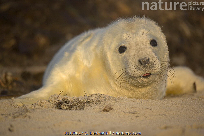 Grey seal (Halichoerus grypus) pup on a beach in Helgoland, North Sea, Germany  ,  BABIES,BEACHES,CARNIVORES,CUTE,EUROPE,GERMANY,JUVENILE,MAMMALS,PINNIPEDS,PORTRAITS,SEALS,VERTEBRATES  ,  Dietmar Nill