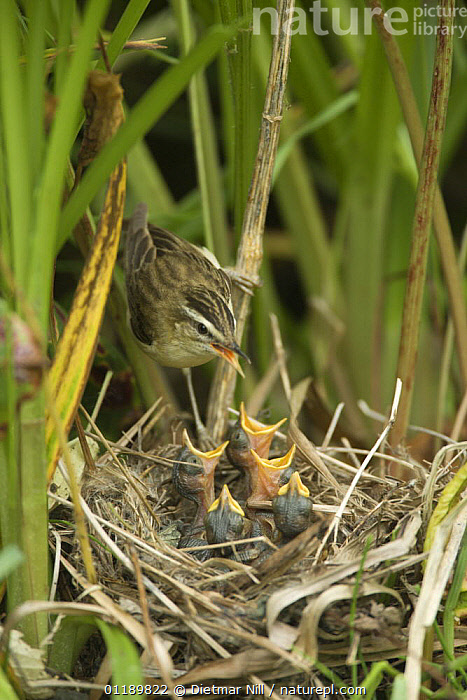 Sedge Warbler (Acrocephalus schoenobaenus) feeding its chicks at nest, Lithuania  ,  BABIES,BIRDS,EASTERN EUROPE,FAMILIES,LITHUANIA,MOTHER,NESTS,PARENTAL,VERTEBRATES,VERTICAL,WARBLERS  ,  Dietmar Nill