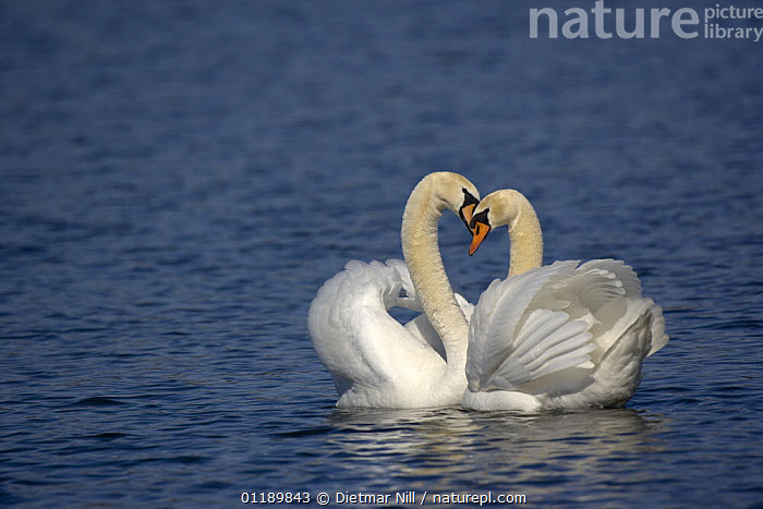 Two Mute swans (Cygnus olor) displaying on water, Germany  ,  AFFECTIONATE,BIRDS,EUROPE,GERMANY,LAKES,MALE FEMALE PAIR,SWANS,VERTEBRATES,WATERFOWL,concepts,Wildfowl, Waterfowl  ,  Dietmar Nill