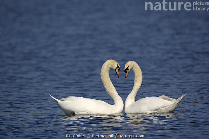 Two Mute swans (Cygnus olor) displaying on water, Germany  ,  AFFECTIONATE,BIRDS,EUROPE,GERMANY,LAKES,PORTRAITS,PROFILE,SWANS,VERTEBRATES,WATERFOWL,concepts,Wildfowl, Waterfowl  ,  Dietmar Nill
