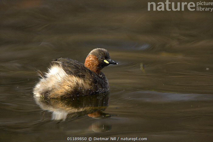 Little Grebe (Trachybaptus ruficollis) adult on water, Stuttgart, Germany  ,  BIRDS,EUROPE,GERMANY,GREBES,LAKES,PORTRAITS,REFLECTIONS,VERTEBRATES,WATERFOWL , dabchick  ,  Dietmar Nill