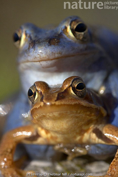 Moor frogs (Rana arvalis) mating in a pond, Germany (the male is blue)  ,  AMPHIBIANS,AMPLEXUS,ANURA,COLOUR MORPHISM,COPULATION,EUROPE,EYES,FROGS,GERMANY,HUMOROUS,MALE FEMALE PAIR,MATING BEHAVIOUR,PORTRAITS,VERTEBRATES,VERTICAL,Concepts,Reproduction  ,  Dietmar Nill