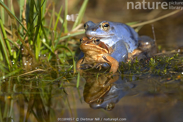 Moor frogs (Rana arvalis) mating in a pond, Germany (the male is blue)  ,  AMPHIBIANS,AMPLEXUS,ANURA,COLOUR MORPHISM,COPULATION,EUROPE,FROGS,GERMANY,MALE FEMALE PAIR,MATING BEHAVIOUR,REFLECTIONS,VERTEBRATES,WATER,Reproduction  ,  Dietmar Nill