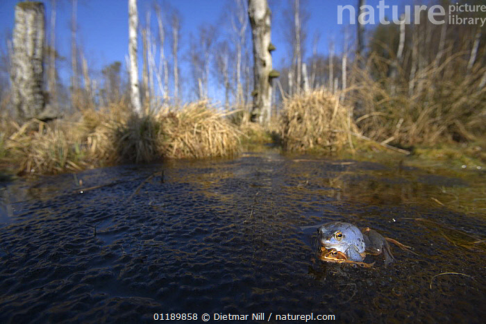 Moor frogs (Rana arvalis) mating in a pond, Germany (the male is blue)  ,  AMPHIBIANS,AMPLEXUS,ANURA,COLOUR MORPHISM,COPULATION,EUROPE,FROGS,GERMANY,HABITAT,LAKES,MALE FEMALE PAIR,MATING BEHAVIOUR,VERTEBRATES,WOODLANDS,Reproduction  ,  Dietmar Nill