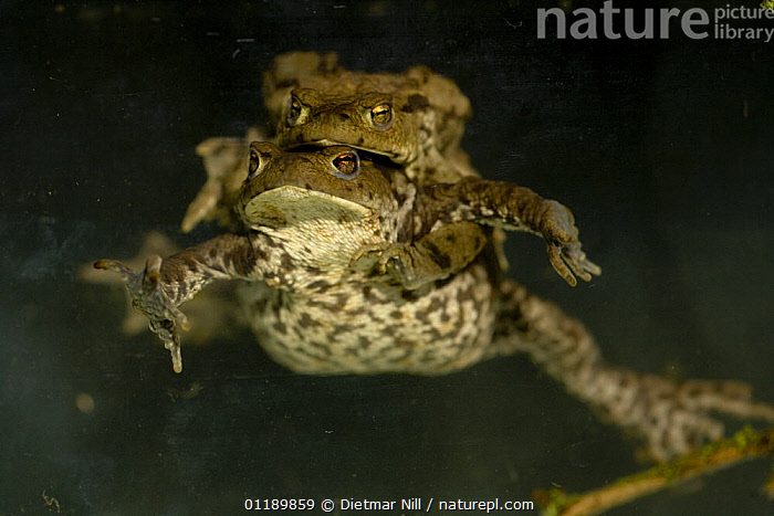 Common European toads (Bufo bufo) in amplexus in a pond, Germany  ,  AMPHIBIANS,ANURA,COPULATION,EUROPE,GERMANY,LAKES,MALE FEMALE PAIR,MATING BEHAVIOUR,TOADS,VERTEBRATES,WATER,Reproduction  ,  Dietmar Nill