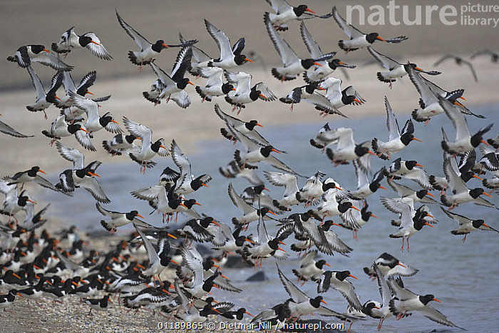 Flock of Oystercatchers (Haematopus ostralegus) taking off from a beach in Texel, Netherlands  ,  BEACHES,BIRDS,COASTS,EUROPE,FLYING,GROUPS,HOLLAND,OYSTERCATCHERS,TAKE OFF,VERTEBRATES,WADERS  ,  Dietmar Nill