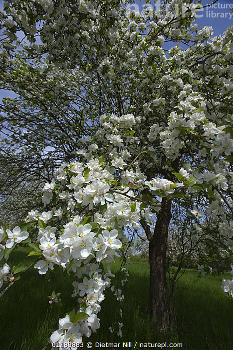 Pear tree (Pyrus communis) in blossom, Germany  ,  DICOTYLEDONS,EUROPE,FLOWERING,FLOWERS,GERMANY,ORCHARDS,PLANTATIONS,PLANTS,ROSACEAE,SPRING,TREES,VERTICAL  ,  Dietmar Nill
