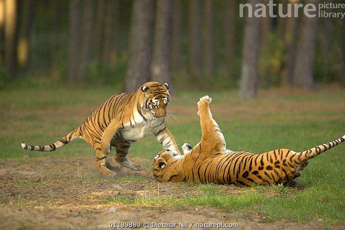 Two captive Tigers (Panthera tigris) fighting in SerengetiPark, Hodenhagen, Germany  ,  AGGRESSION,BEHAVIOUR,BIG CATS,CARNIVORES,DOMINANCE,ENDANGERED,FIGHTING,MAMMALS,TIGERS,WOODLANDS,Concepts  ,  Dietmar Nill