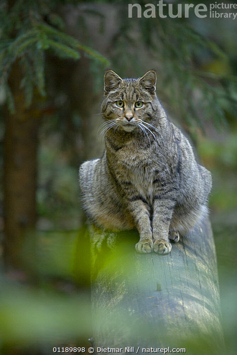 Wild cat (Felis sylvestris) on a log, captive  ,  CARNIVORES,CATS,MAMMALS,PORTRAITS,SITTING,VERTEBRATES,VERTICAL,WILDCAT,WOODLANDS  ,  Dietmar Nill