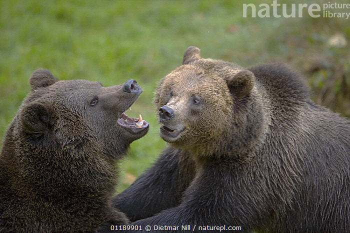 Two captive Brown Bears (Ursus arctos) interacting, Bavarian Forest Enclosure, Germany  ,  BEARS,BEHAVIOUR,CARNIVORES,COMMUNICATION,EUROPE,INTERACTION,INTERESTING,MAMMALS,VERTEBRATES,VOCALISATION  ,  Dietmar Nill