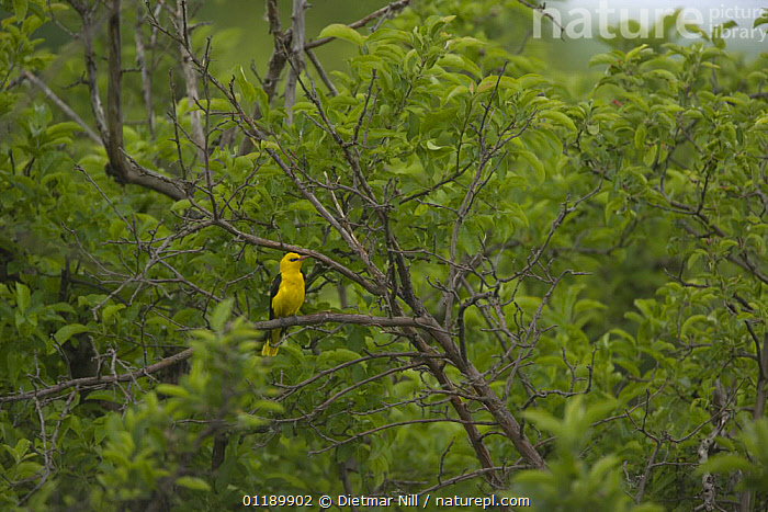 Golden oriole (Oriolus oriolus) male perched in trees, Bulgaria  ,  BIRDS,BROADLEAF,EUROPE,FORESTS,ORIOLES,VERTEBRATES,WOODLANDS,YELLOW  ,  Dietmar Nill