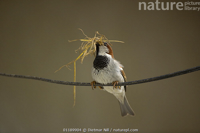 Common sparrow (Passer domesticus) with nesting material in his beak, perched on twig. Bulgaria  ,  BEHAVIOUR,BIRDS,EUROPE,MALES,PORTRAITS,SPARROWS,VERTEBRATES,VERTICAL  ,  Dietmar Nill