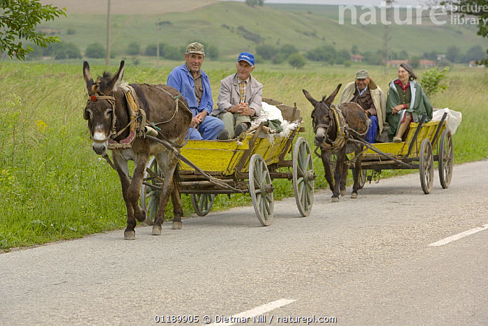Donkey cart traffic on a country road in Bulgaria, 2006  ,  DONKEYS,EQUUS ASINUS,EUROPE,PEOPLE,ROADS,TRADITIONAL,VEHICLES,WORKING  ,  Dietmar Nill