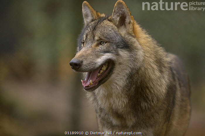 Captive Wolf (canis lupus) in Heidezoo, L�neburg, Germany  ,  CANIDS,CARNIVORES,MAMMALS,PORTRAITS,VERTEBRATES,WOLVES,Dogs  ,  Dietmar Nill