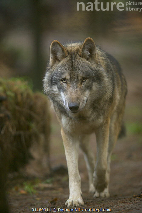 Captive Wolf (canis lupus) walking in Heidezoo, L�neburg, Germany  ,  CANIDS,CARNIVORES,MAMMALS,PORTRAITS,VERTEBRATES,VERTICAL,WOLVES,Dogs  ,  Dietmar Nill